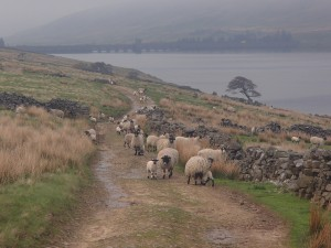 Flock of sheep on Carle Fell Road, above Scar House Reservoir