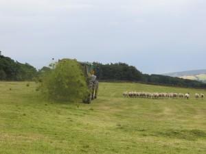Spreading green hay
