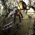European cave spider