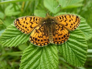 Small pearl bordered fritillary - Credit Allan Rodda (1)