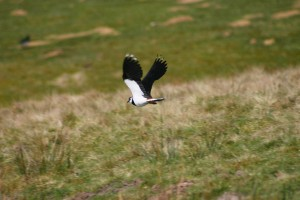 Lapwing at scar House Apr09 - EMoss