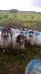 Masham sheep