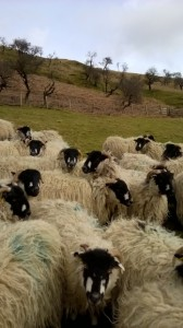 Dalesbred sheep