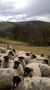 Dalesbred sheep 2 (F Graham)